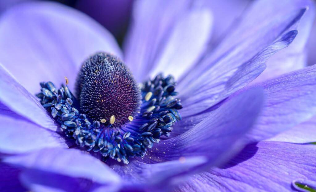 Anemone Coronaria Blau