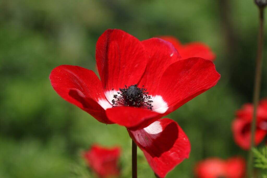 Anemone Coronaria Rot