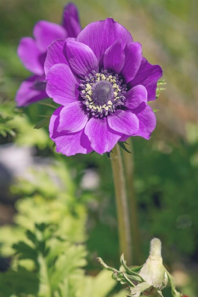 Anemone Coronaria Violett