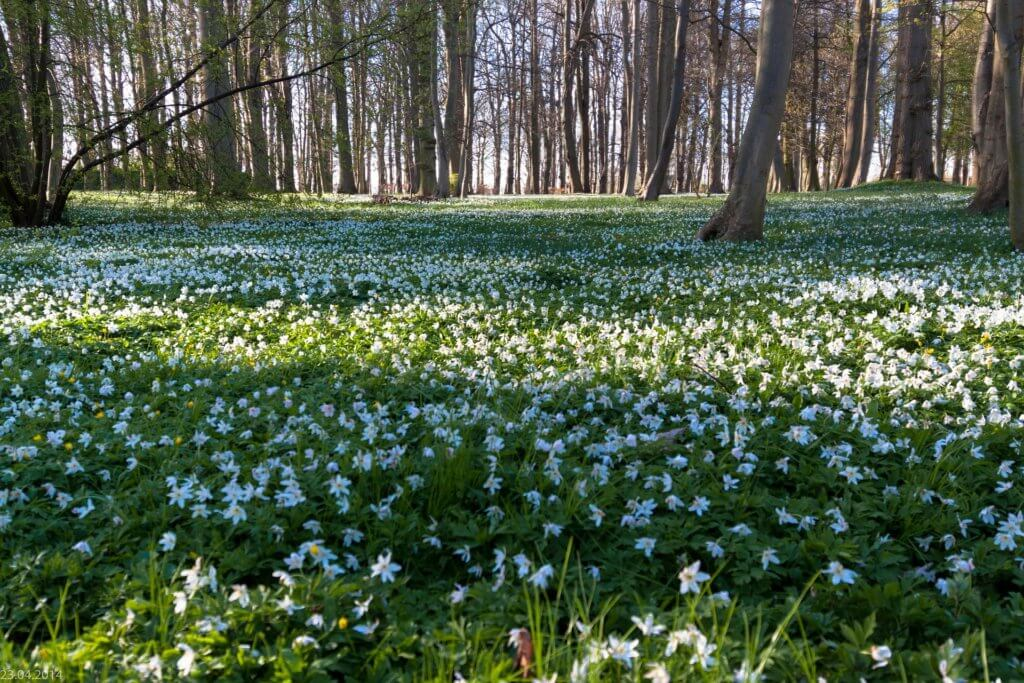 Anemone Nemorosa Im Wald
