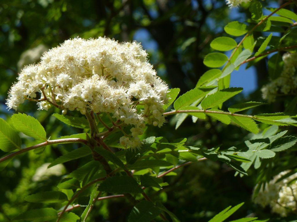 Blüte der Eberesche