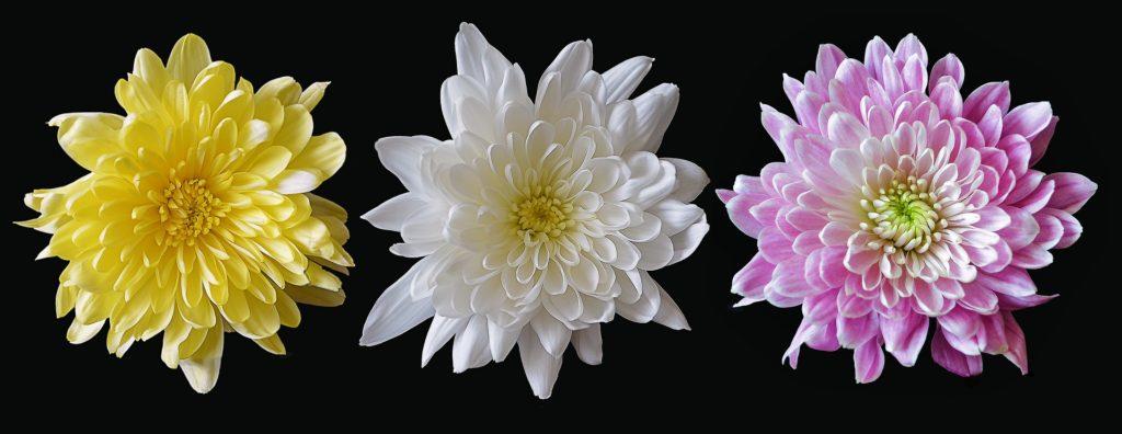Chrysanthemen In Drei Farben