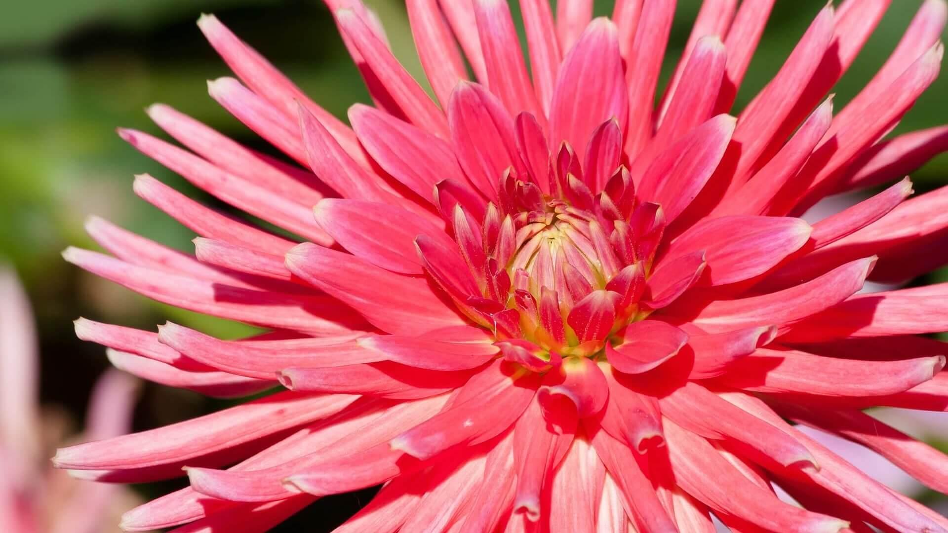 Cropped Dahlie Pink Spinne.jpg