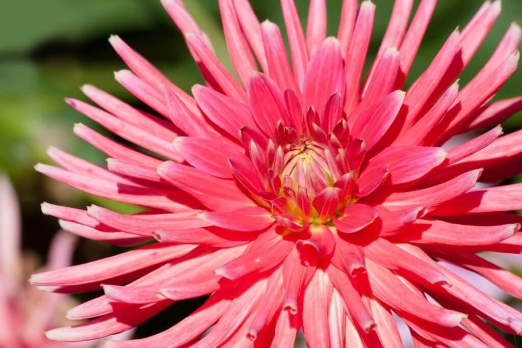Dahlie Pink Spinne