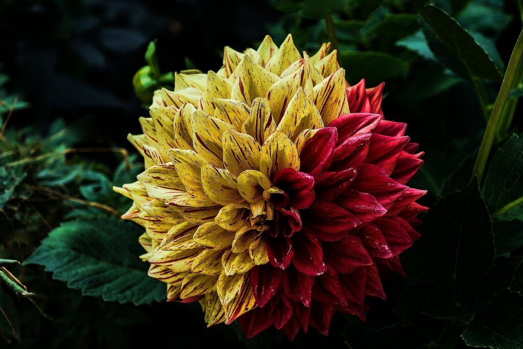 Dahlie Special Color