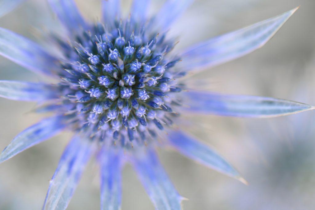 Distelbluete Blau Nahaufnahme