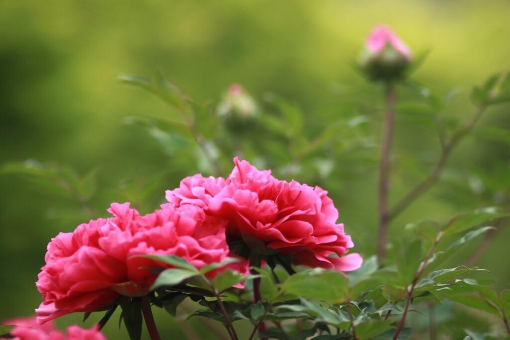 Garten Mit Paeonien