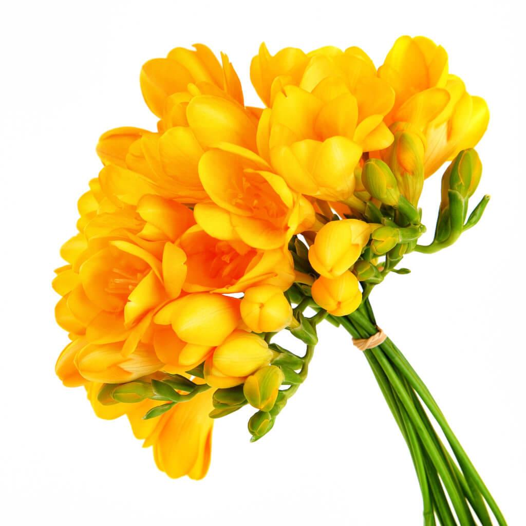 Gelbe Freesien