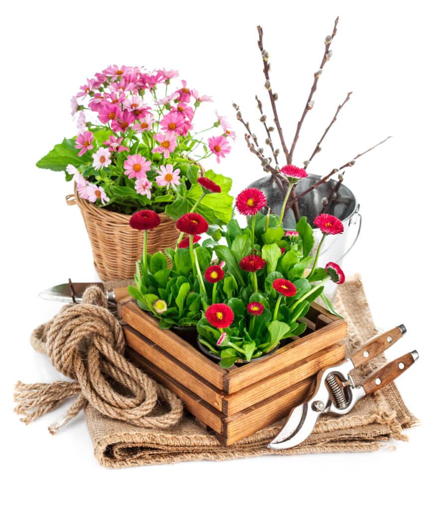 Gepflanzte Gänseblümchen