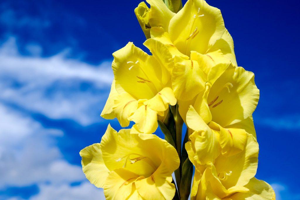 Gladiole Gelb Vor Dem Himmel