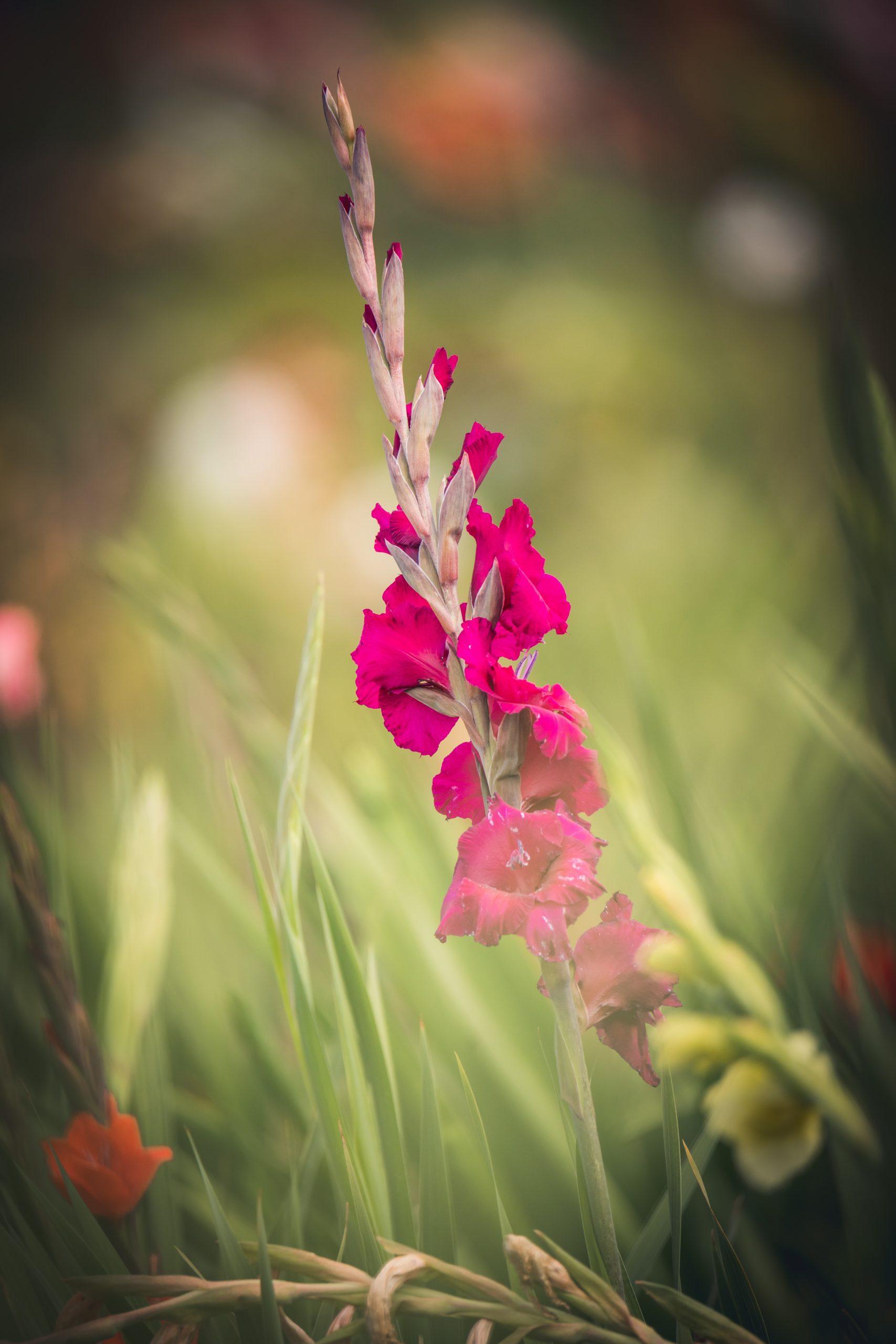Gladiole Im Feld Magenta Farben