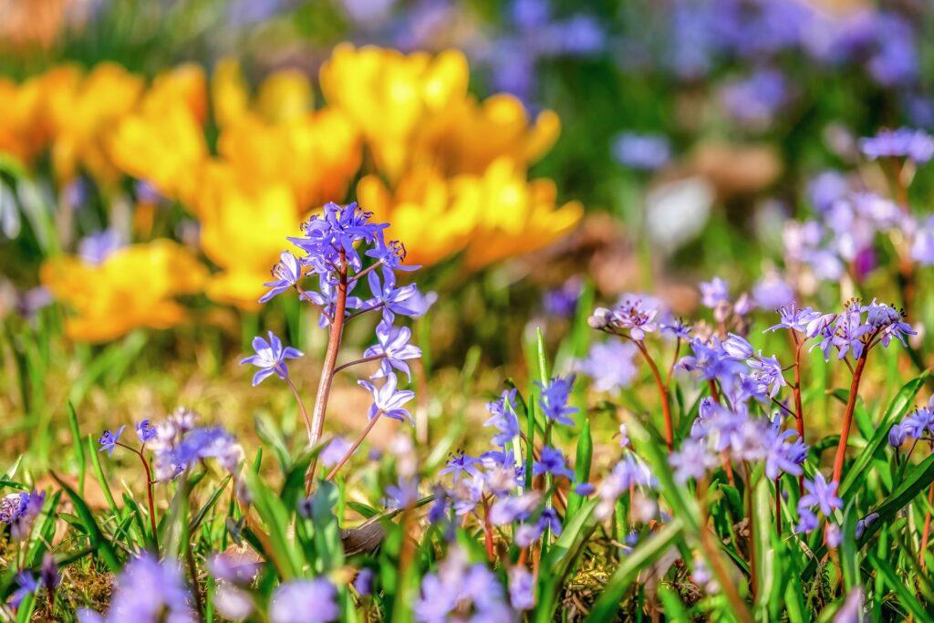 Hasenglöckchen und Krokus im Garten