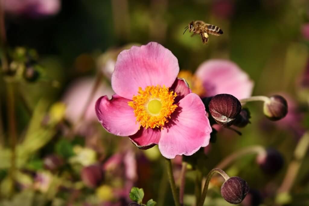 Herbst Anemone
