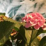 Hortensie Rosa Pink
