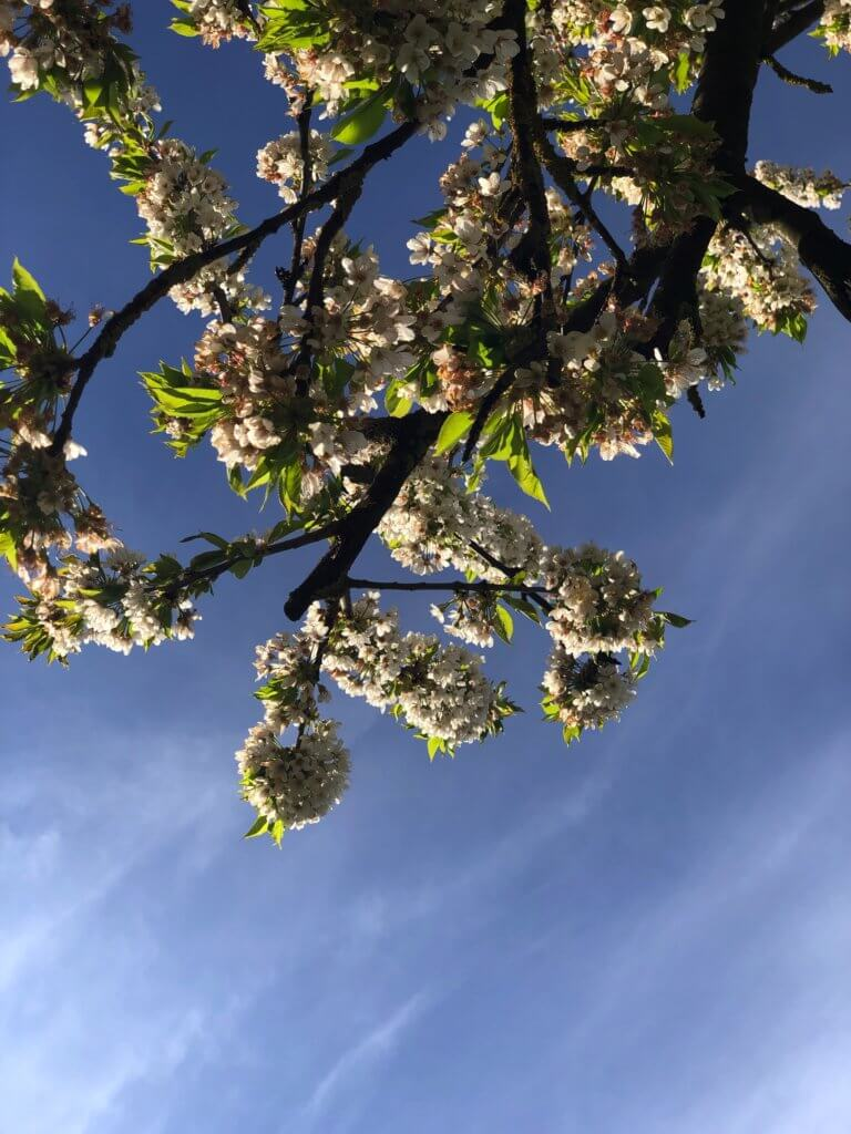 Kirschblueten Gegen Den Himmel Betrachtet