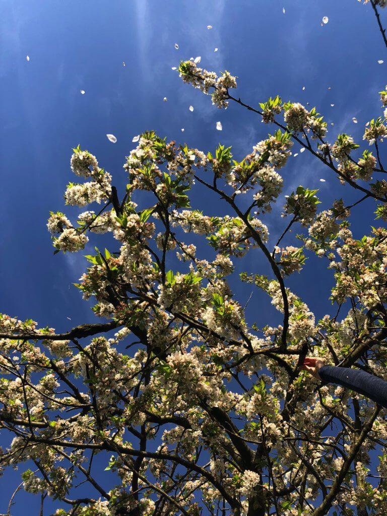 Kirschblueten Mit Fliegenden Bluetenblaettern