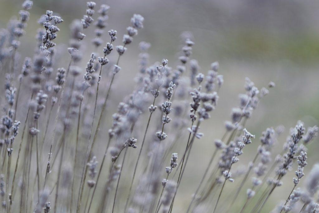 Lavendel Verblueht