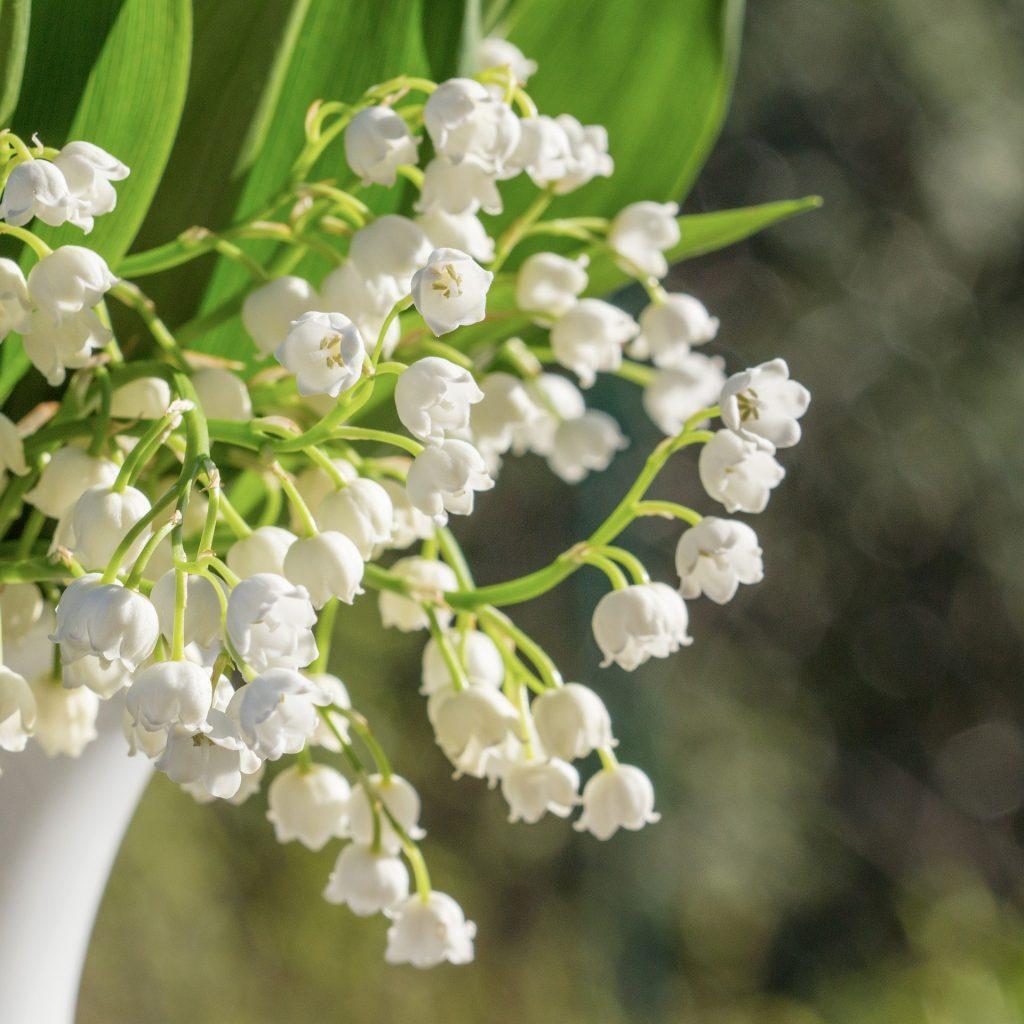 Maiglöckchen Blüten
