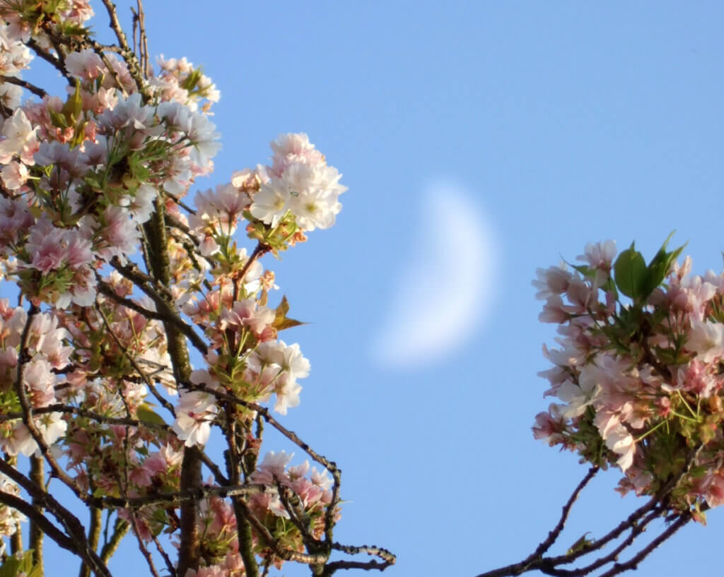 Mond Und Kirschbluete