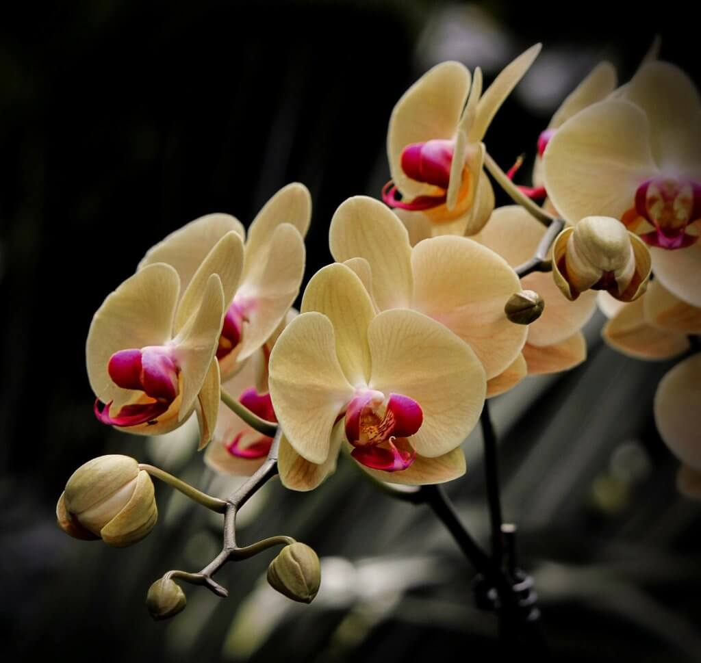 Nachtfalter Orchidee Creme Pink