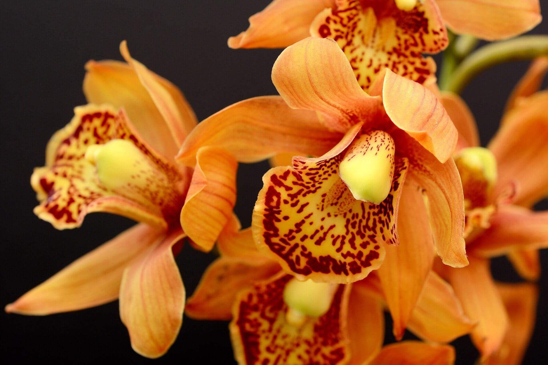Orchidee Cymbidium Orange