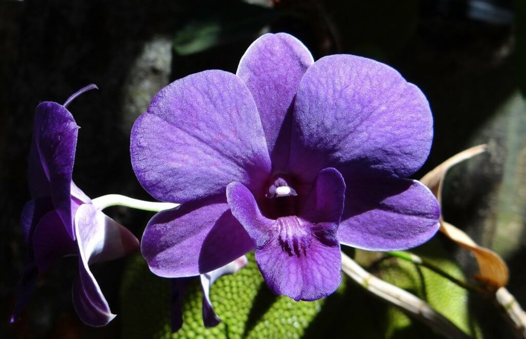 Orchidee Dendrobium Violett