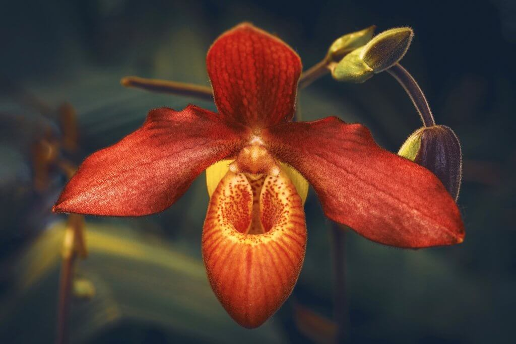 Orchidee Frauenschuh Braun Orange