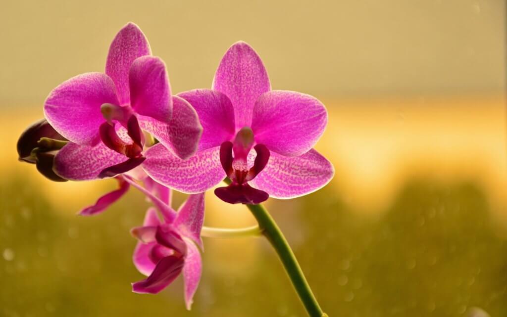 Orchidee Pink Schmetterlingsorchidee