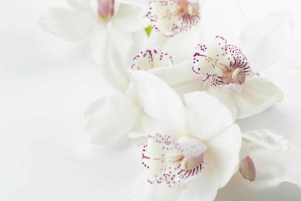 Orchidee Weiss Violette Zeichnung