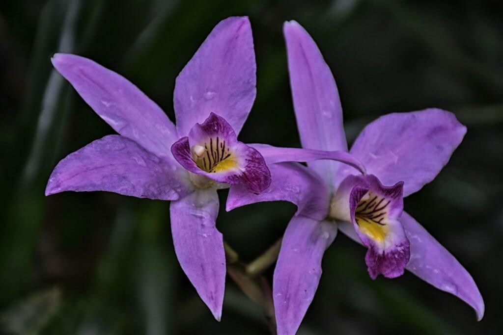 Orchideenblueten Violett Mit Gelbem Auge