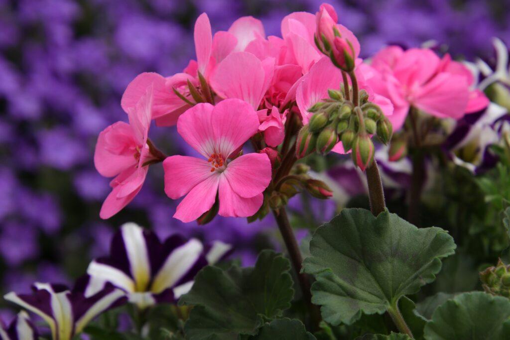pinkfarbene Geranienblüte