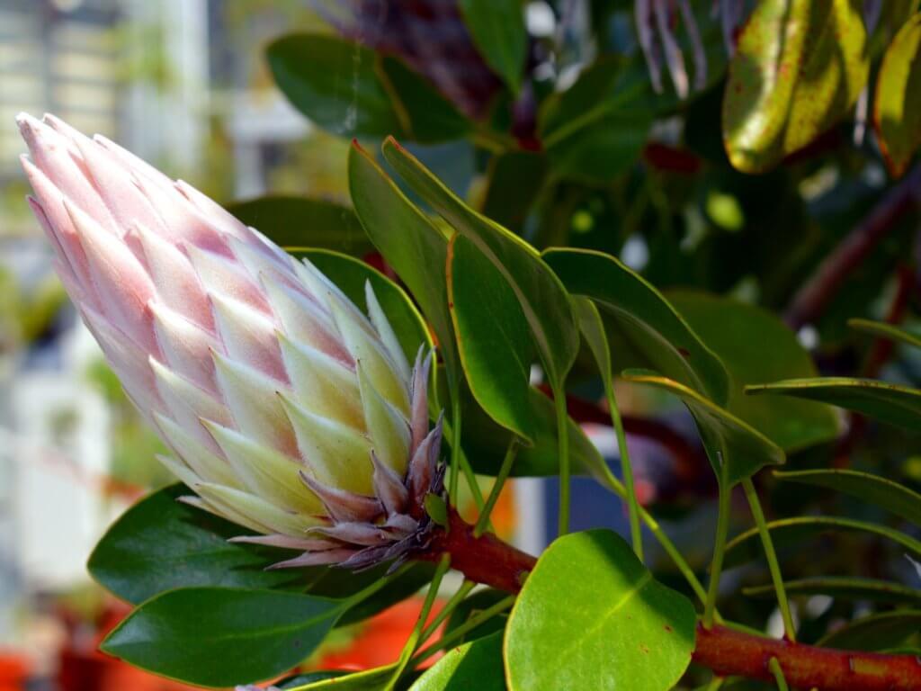 Protea Knospe