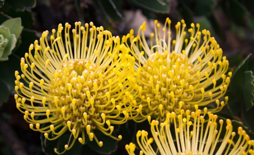 Protea Nadelkissen