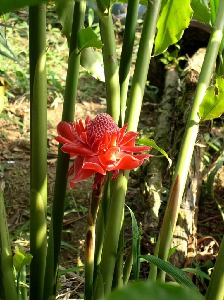 Protea Pflanze
