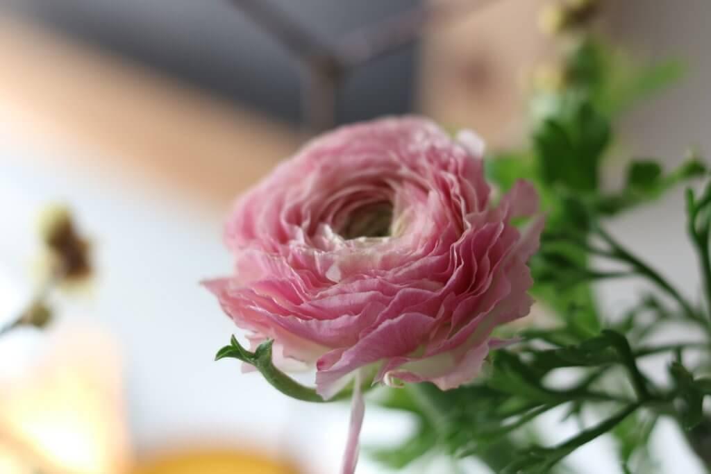 Ranunkel Bluete Rosa