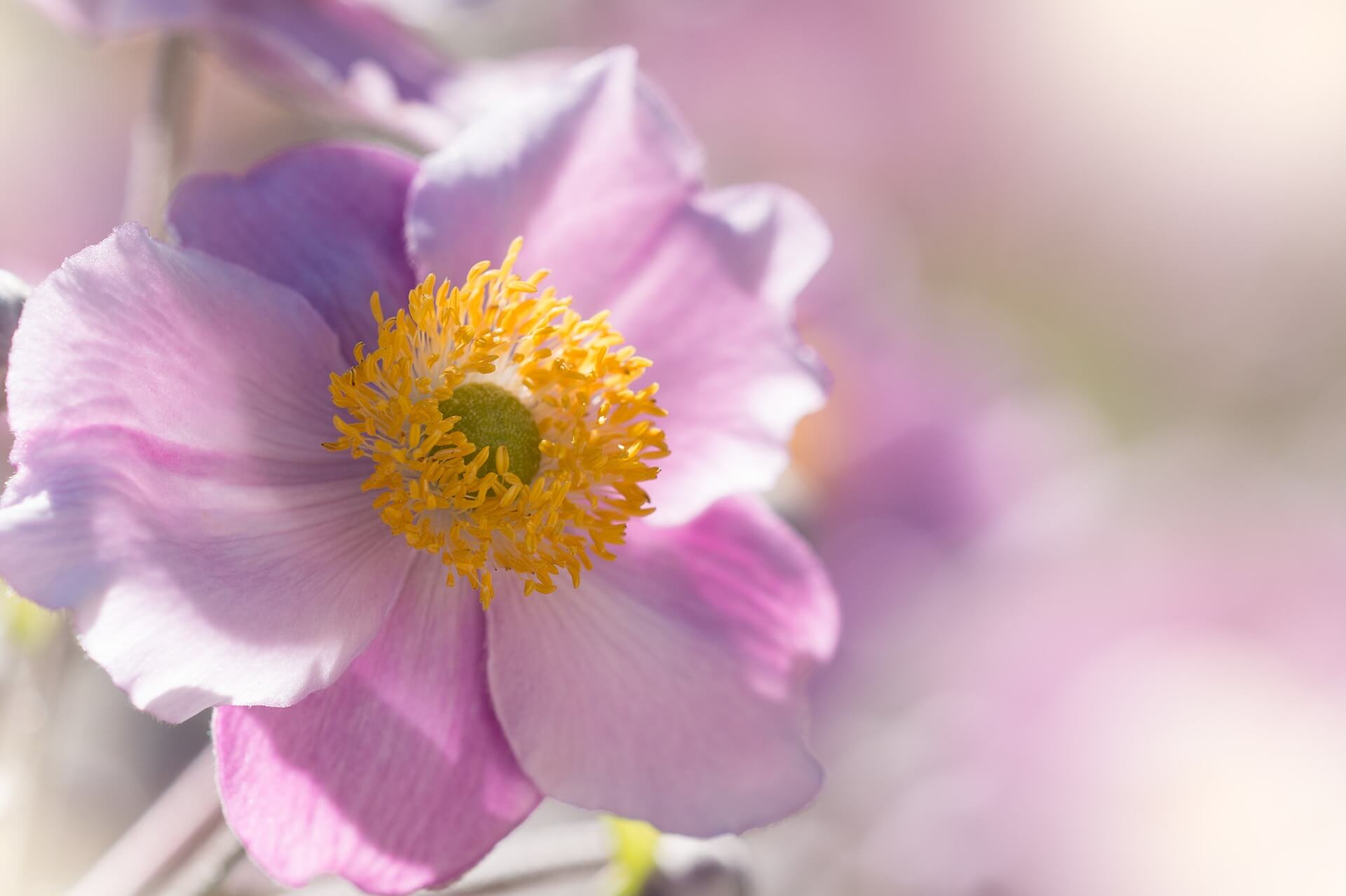 Rosa Herbst Anemone