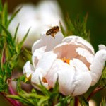 Rosaweisse Pfingstrose Mit Biene