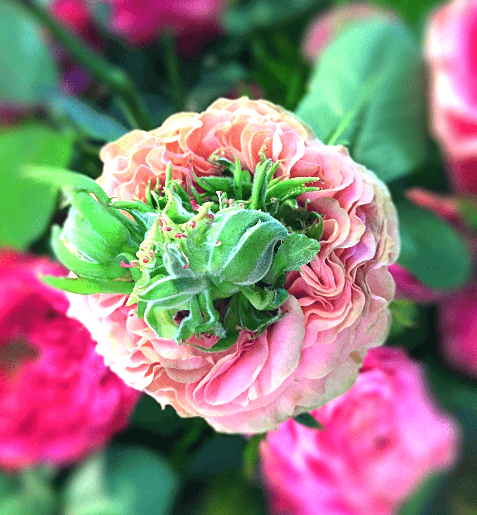 Rose mit gruenem Herzen nah