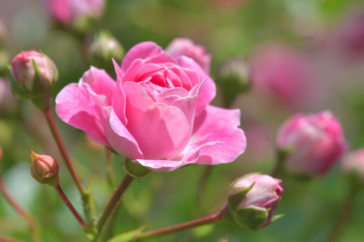 Rose Pink Im Garten