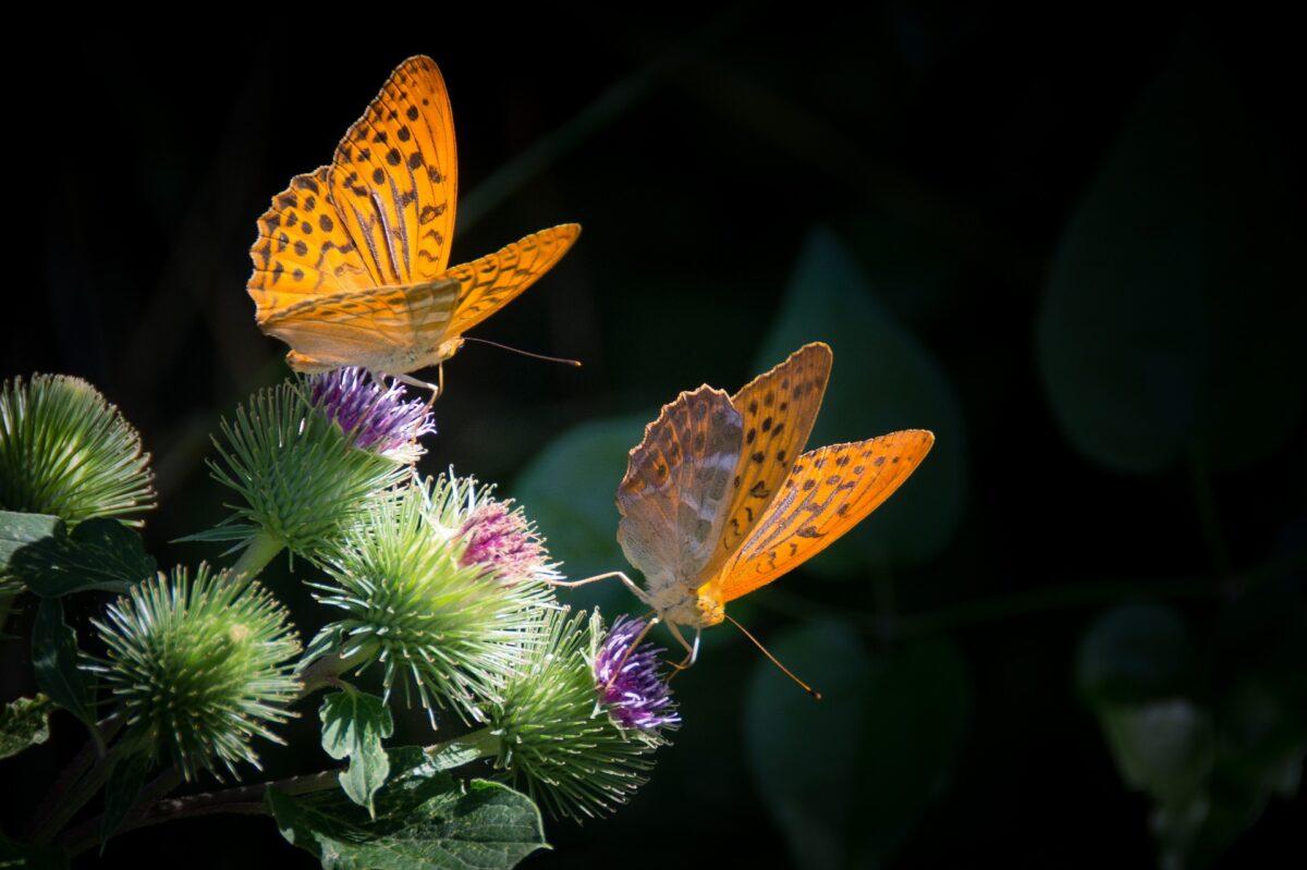 Schmetterlinge auf Distelblüten