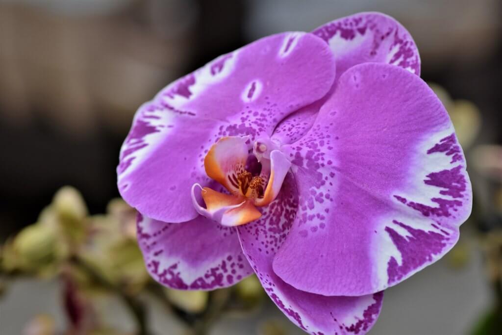 Schmetterlings Orchidee Violette Maserung