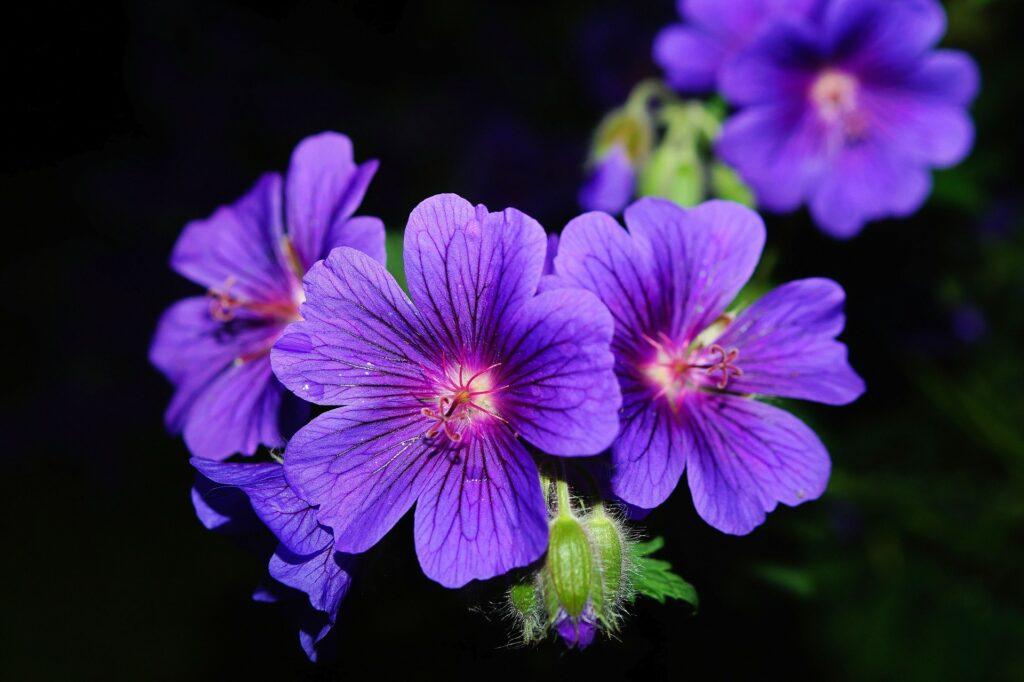 Storchschnabel Blüte Geranium