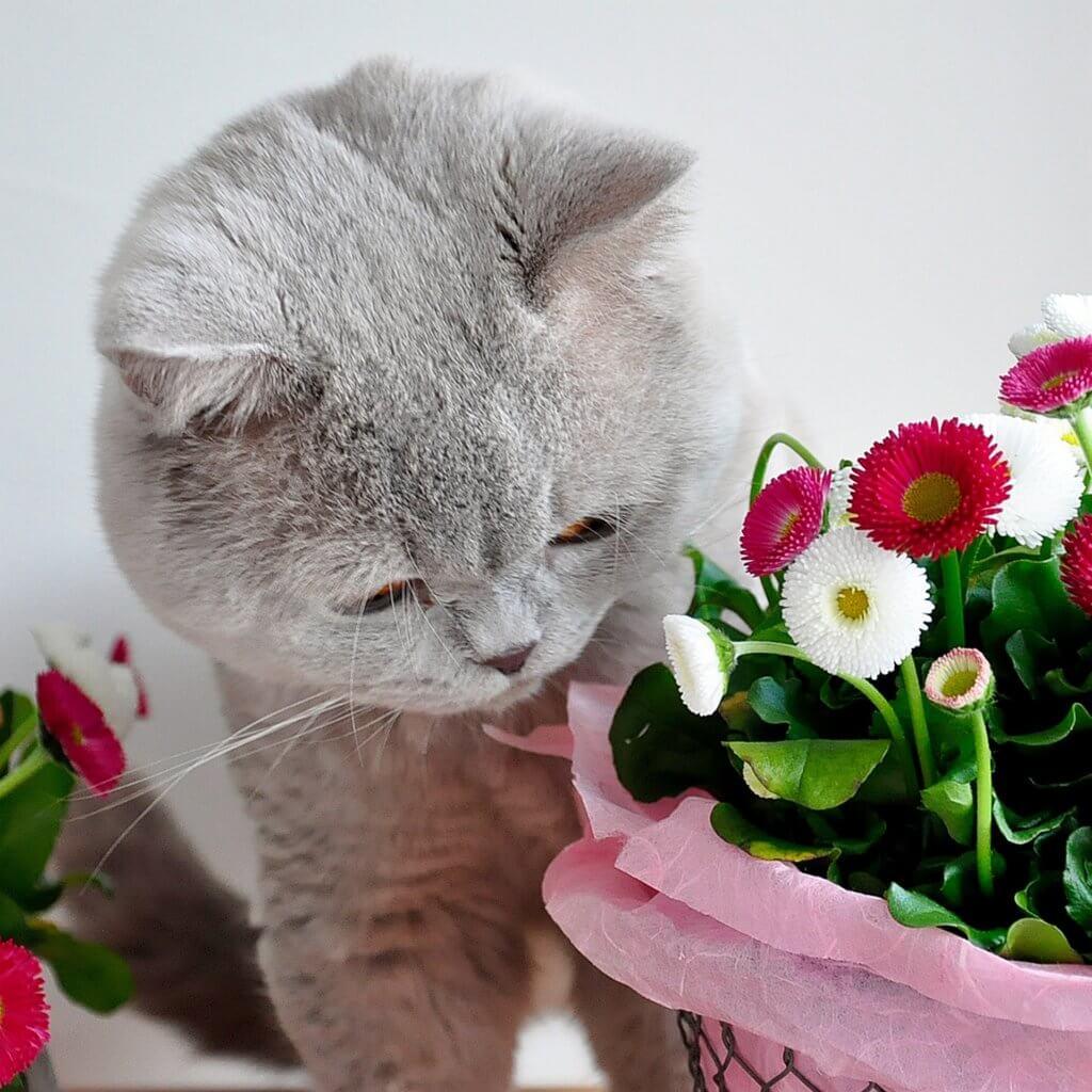 Tausendschön: Bellis Mit Katze