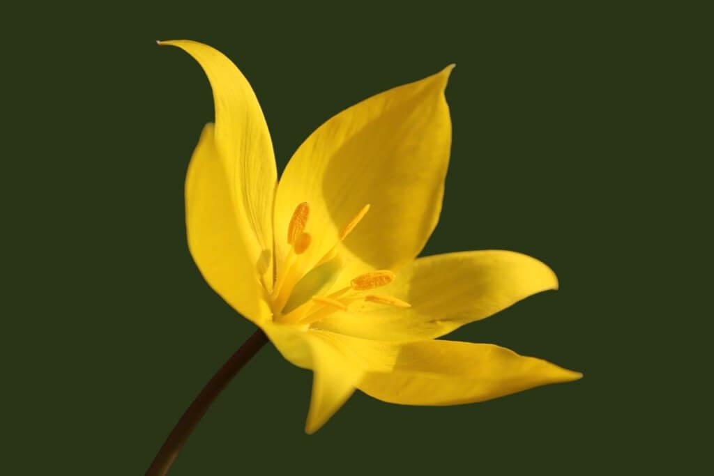Tulipa Sylvestris Wildtulpe 1