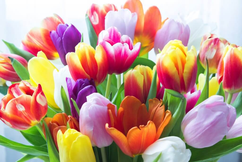 Viele Bunte Tulpen 1