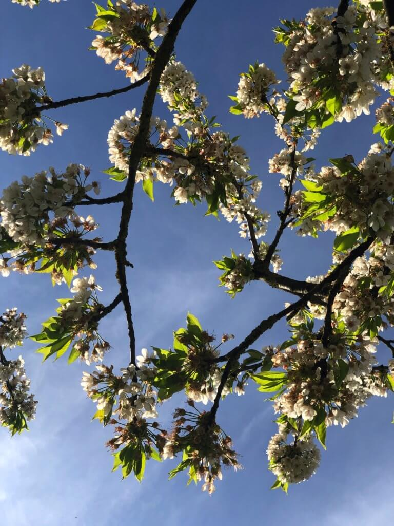 Vor Blauem Himmel Kirschblueten