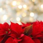 Weihnachts Sterne