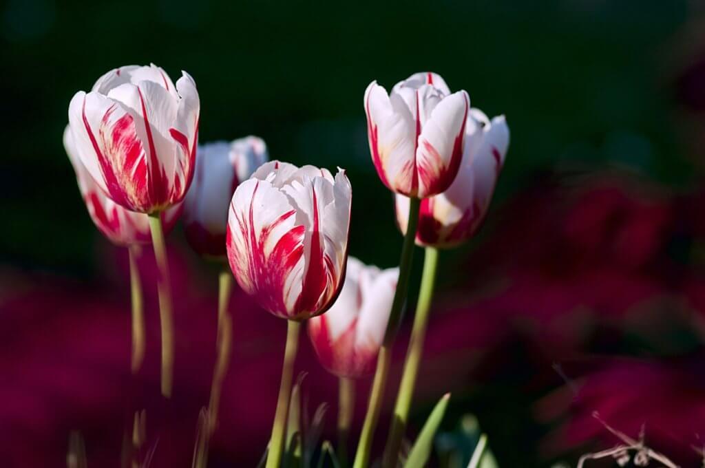 Weiss Rot Geflammte Tulpen