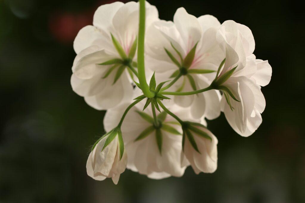 weiße Geranienblüte von unten fotografiert