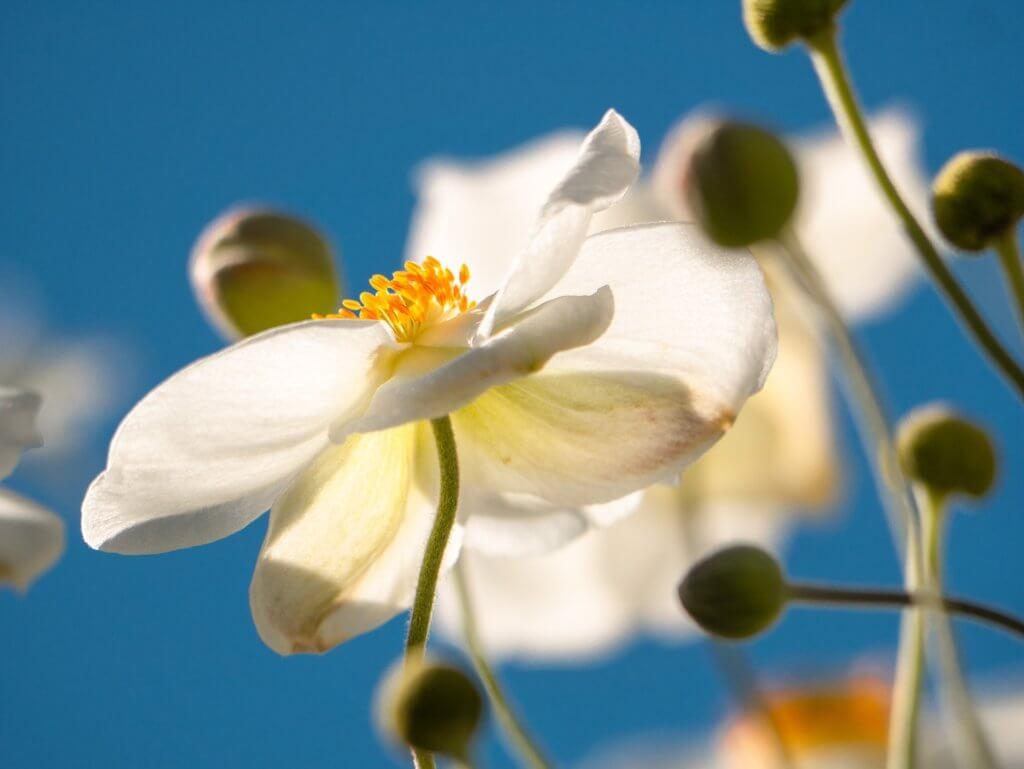 Weisse Herbst Anemonen